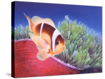 Clown Fish-Durwood Coffey-Stretched Canvas Print
