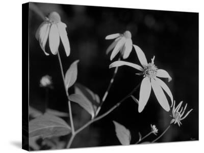 Wildflowers 10-Gordon Semmens-Stretched Canvas Print