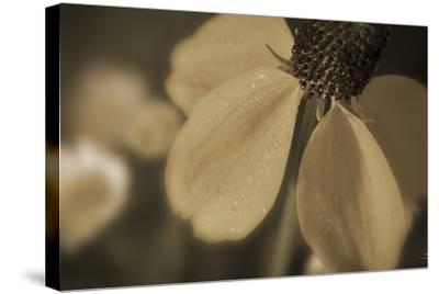 Flower-Gordon Semmens-Stretched Canvas Print