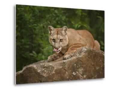 Mountain Lion Lunch-Galloimages Online-Metal Print