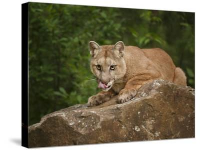 Mountain Lion Lunch-Galloimages Online-Stretched Canvas Print