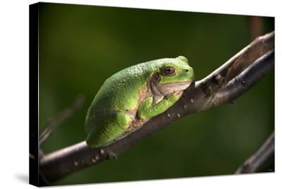 Frog-Gordon Semmens-Stretched Canvas Print