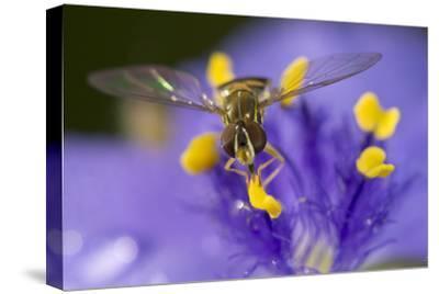 Flower, Bee-Gordon Semmens-Stretched Canvas Print