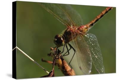 Dragonflies-Gordon Semmens-Stretched Canvas Print