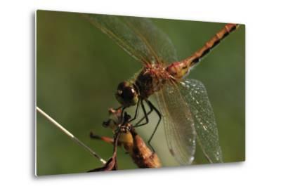 Dragonflies-Gordon Semmens-Metal Print