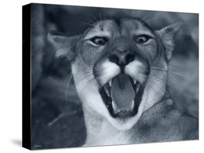 Cougar-Gordon Semmens-Stretched Canvas Print