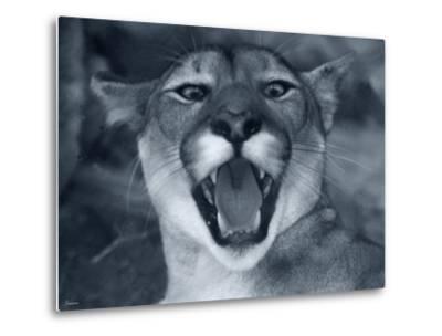 Cougar-Gordon Semmens-Metal Print