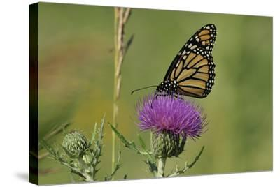 Spring Flowers-Gordon Semmens-Stretched Canvas Print