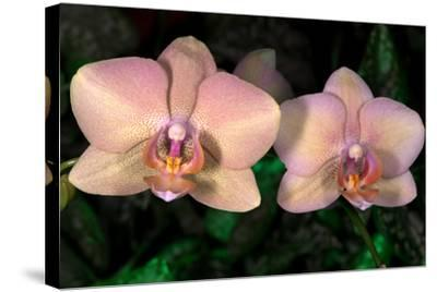 Orchid-Gordon Semmens-Stretched Canvas Print