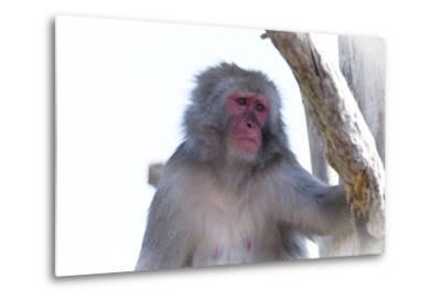 Monkey-Gordon Semmens-Metal Print