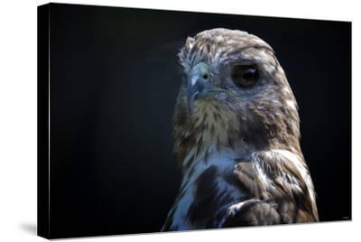 Hawk-Gordon Semmens-Stretched Canvas Print