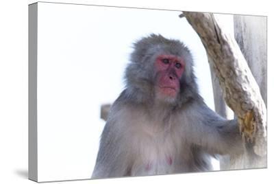 Monkey-Gordon Semmens-Stretched Canvas Print