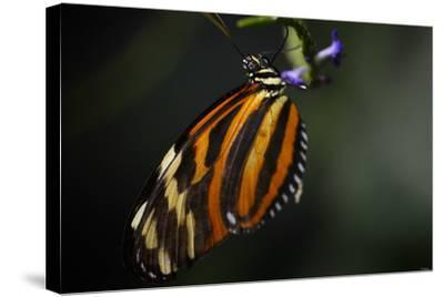 Butterfly-Gordon Semmens-Stretched Canvas Print