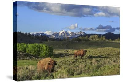 Bison with Mountains (YNP)-Galloimages Online-Stretched Canvas Print