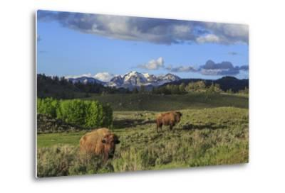 Bison with Mountains (YNP)-Galloimages Online-Metal Print