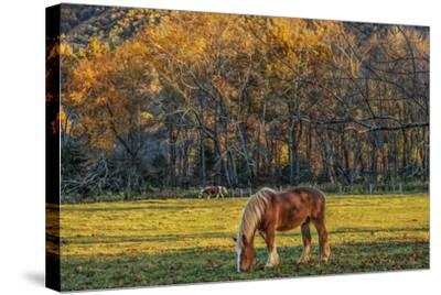 Cades Cove Horses at Sunset-Galloimages Online-Stretched Canvas Print