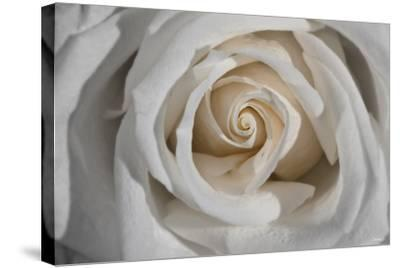 Rose-Gordon Semmens-Stretched Canvas Print