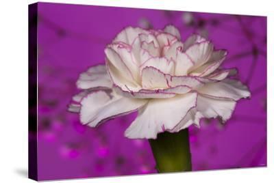 Carnation-Gordon Semmens-Stretched Canvas Print