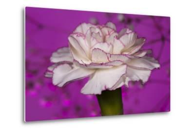 Carnation-Gordon Semmens-Metal Print