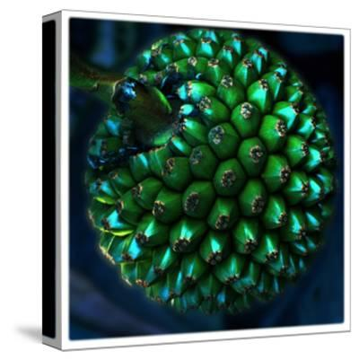 Pod of Seeds-Harold Silverman-Stretched Canvas Print