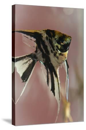 Angel Fish IX-Gordon Semmens-Stretched Canvas Print