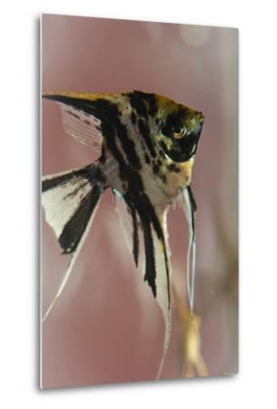 Angel Fish IX-Gordon Semmens-Metal Print