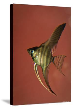 Angel Fish IV-Gordon Semmens-Stretched Canvas Print