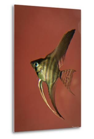 Angel Fish IV-Gordon Semmens-Metal Print