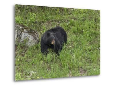 Black Bear (YNP)-Galloimages Online-Metal Print