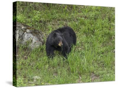 Black Bear (YNP)-Galloimages Online-Stretched Canvas Print