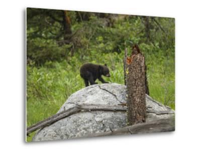 Bear Cub on Rock-Galloimages Online-Metal Print