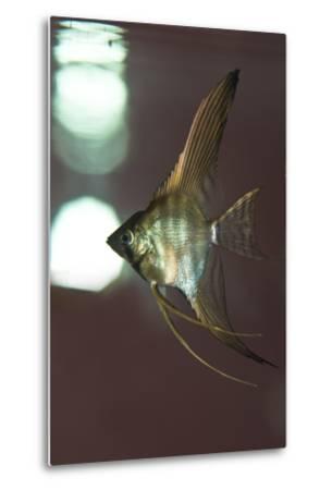 Angel Fish XI-Gordon Semmens-Metal Print