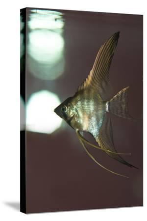 Angel Fish XI-Gordon Semmens-Stretched Canvas Print