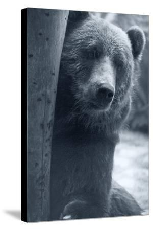 Grizzly-Gordon Semmens-Stretched Canvas Print