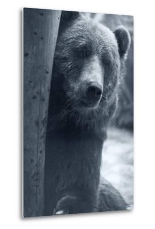 Grizzly-Gordon Semmens-Metal Print