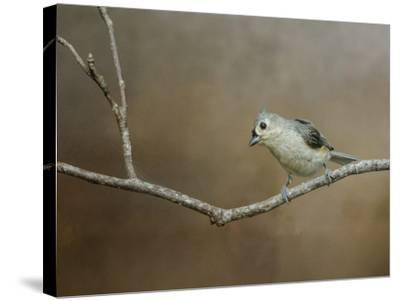 Visiting Tufted Titmouse-Jai Johnson-Stretched Canvas Print