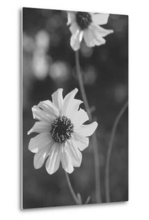Wildflowers 11-Gordon Semmens-Metal Print