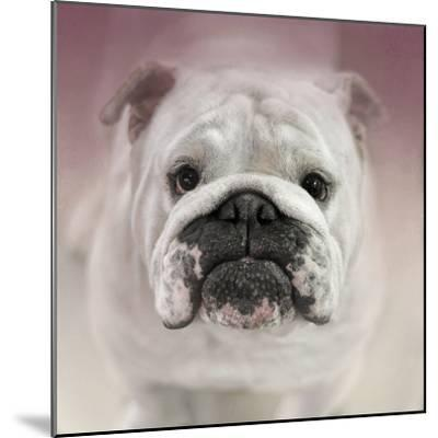 Got Treat Bulldog Puppy-Jai Johnson-Mounted Giclee Print
