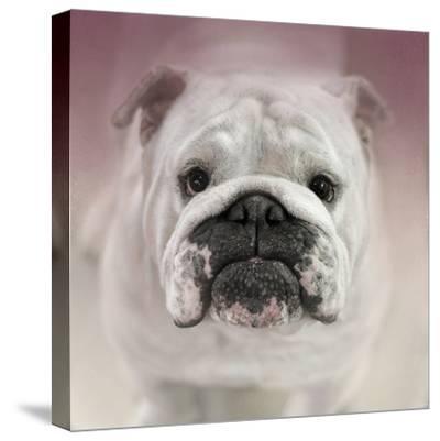 Got Treat Bulldog Puppy-Jai Johnson-Stretched Canvas Print
