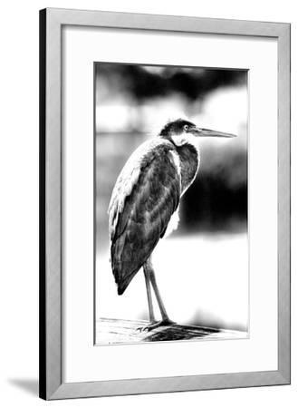 Passing Bird BW-Harold Silverman-Framed Giclee Print