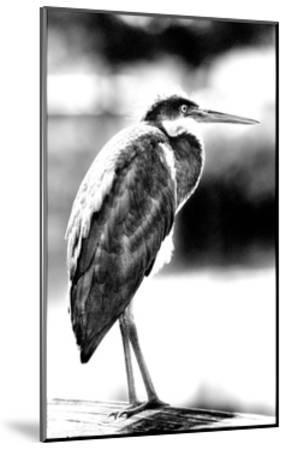 Passing Bird BW-Harold Silverman-Mounted Giclee Print