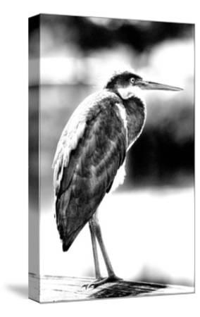 Passing Bird BW-Harold Silverman-Stretched Canvas Print