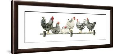Hens, White Background-Janet Pidoux-Framed Giclee Print