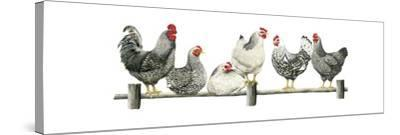 Hens, White Background-Janet Pidoux-Stretched Canvas Print