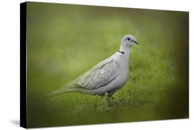 Spring Dove-Jai Johnson-Stretched Canvas Print