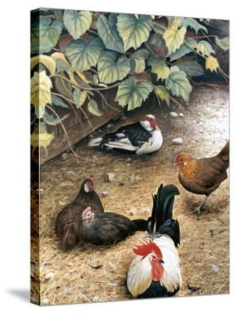 Old Barnyard Chickens-Kevin Dodds-Stretched Canvas Print
