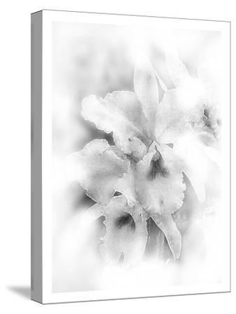 Orchid Magena-Maria Trad-Stretched Canvas Print