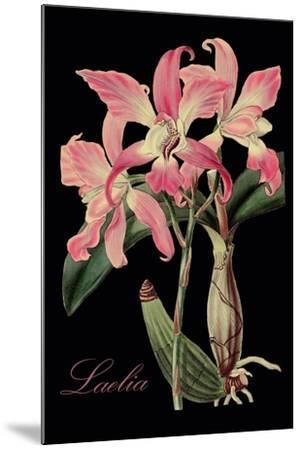 Laelia-Mindy Sommers-Mounted Giclee Print