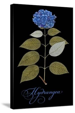 Hydrangea-Mindy Sommers-Stretched Canvas Print