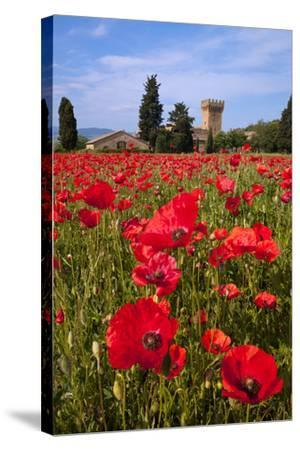 Poppies Close and Personal-Michael Blanchette-Stretched Canvas Print